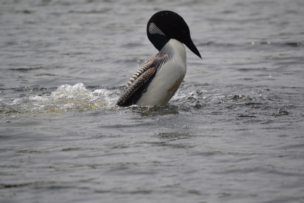 Adult loon ruffling its feathers