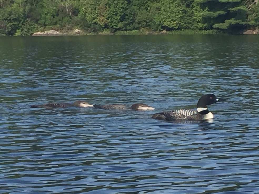 Loon and babies