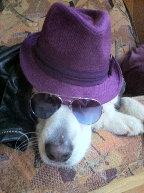 Dog in hat and sunglasses