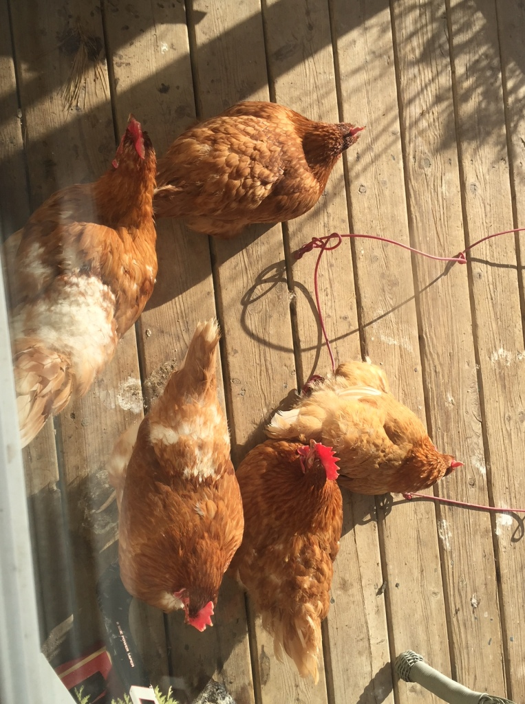 Chickens in sun on front porch