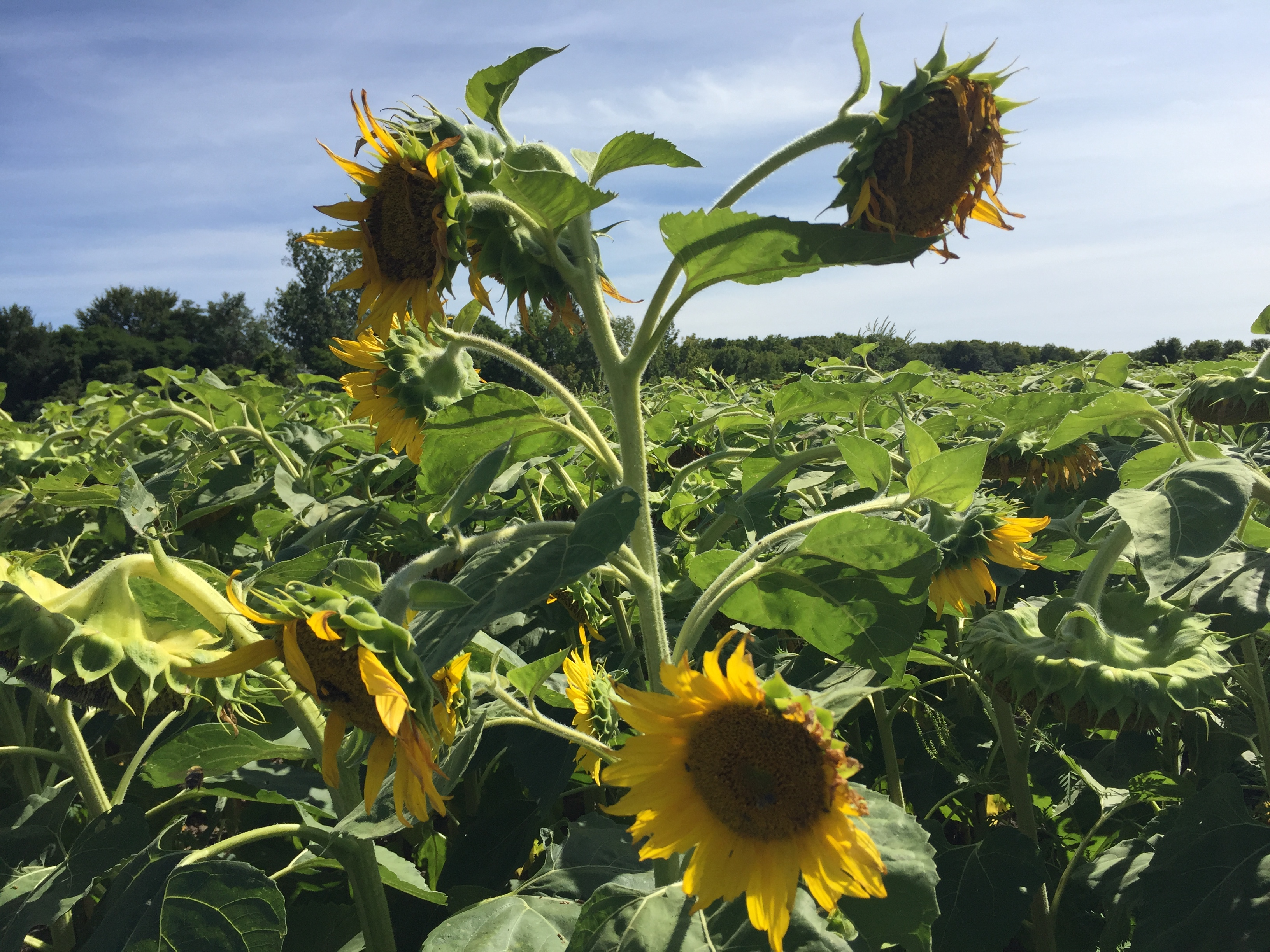 gangly sunflower