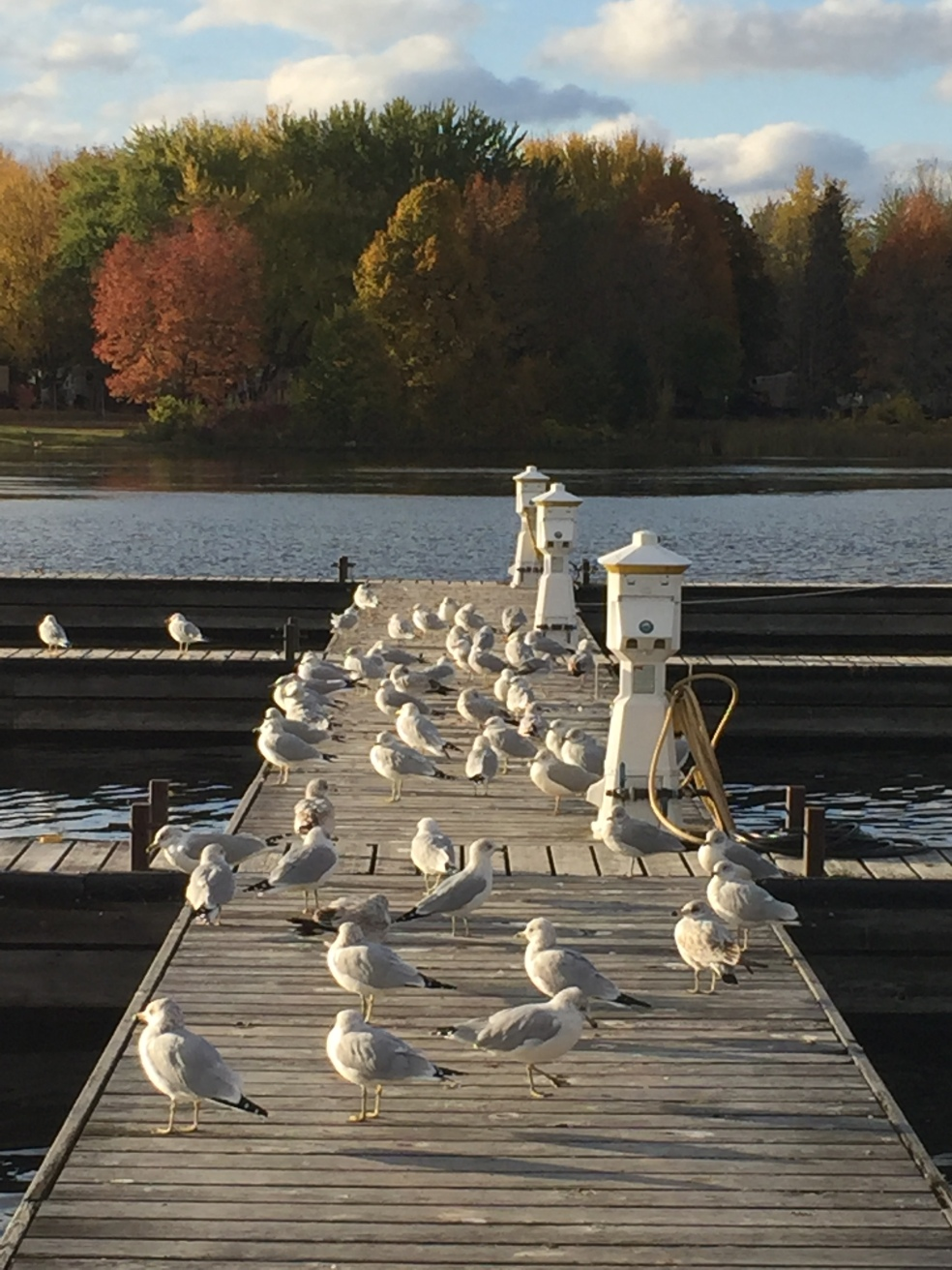 seagulls on a dock in the fall