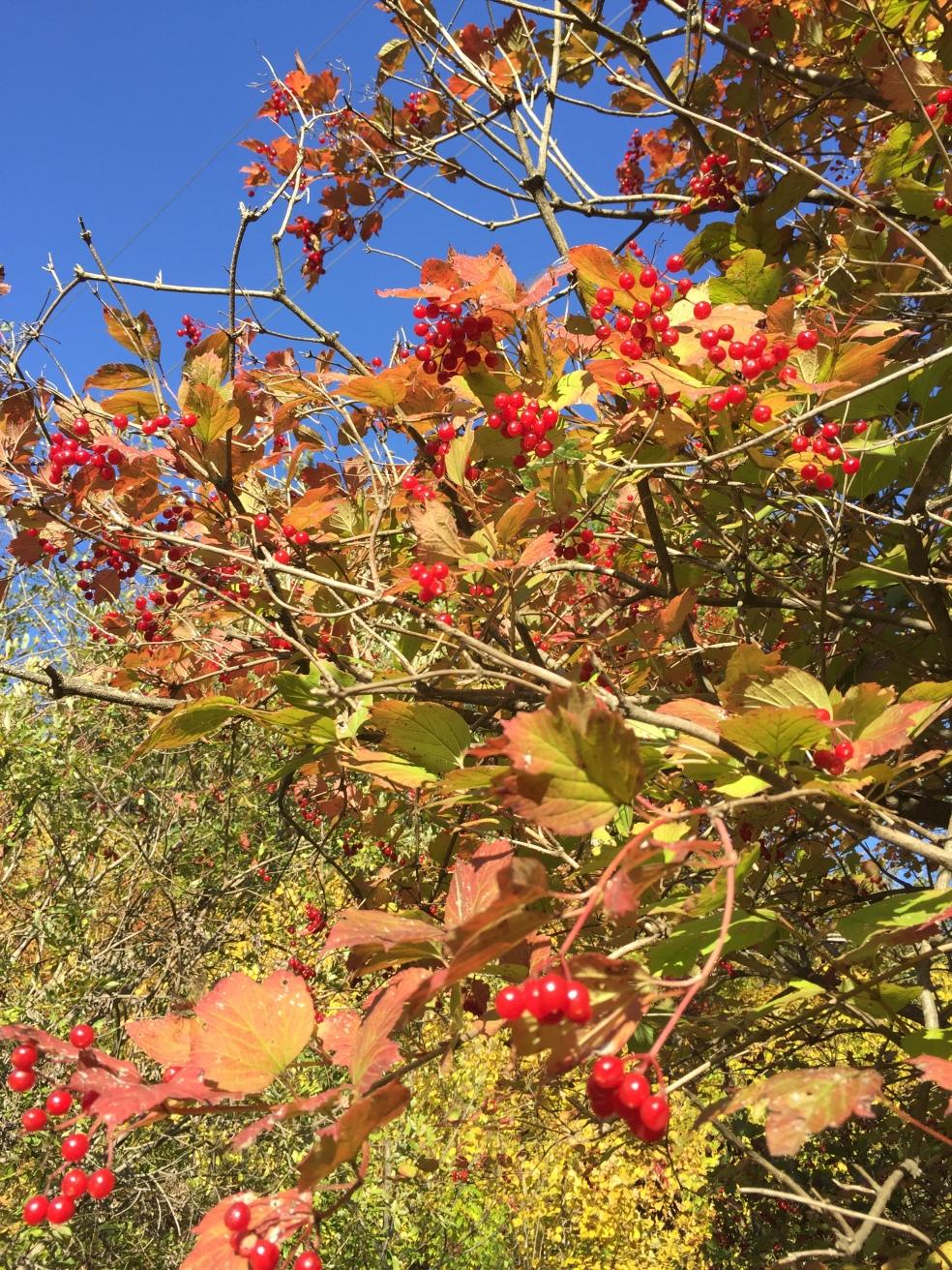 high cranberry bush