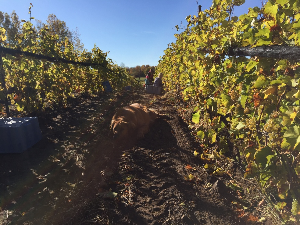Dog in vineyard