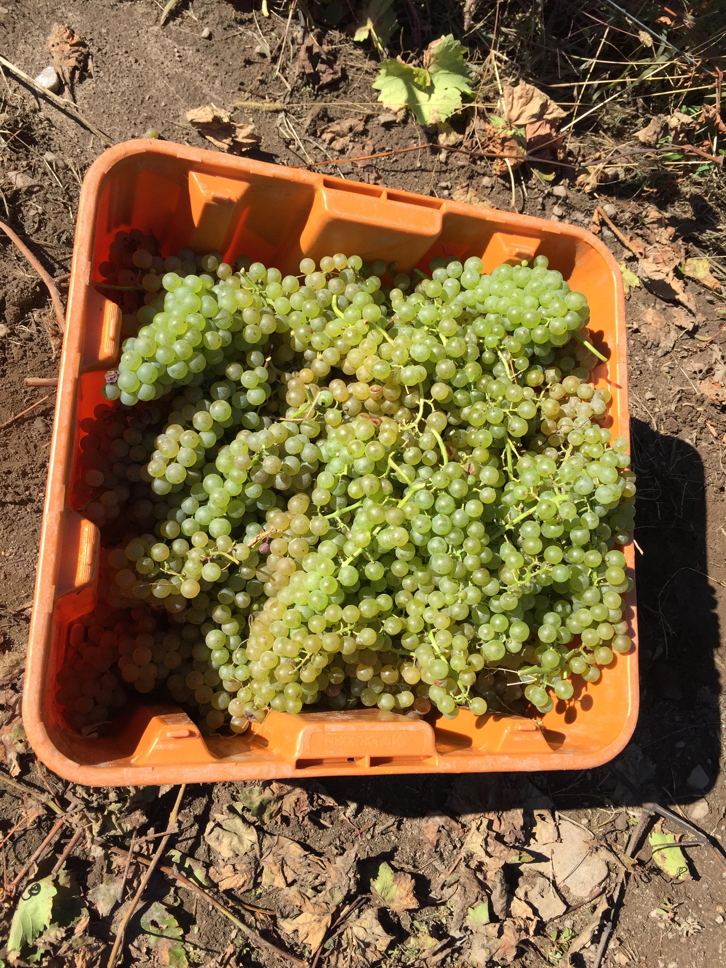 bin of grapes