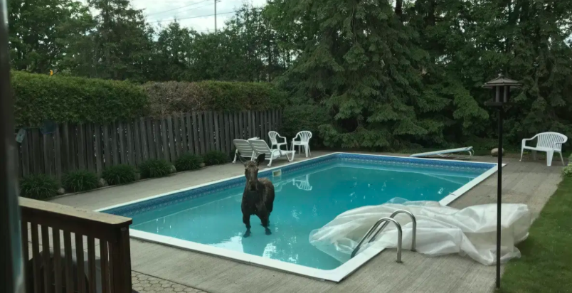 Moose in a pool