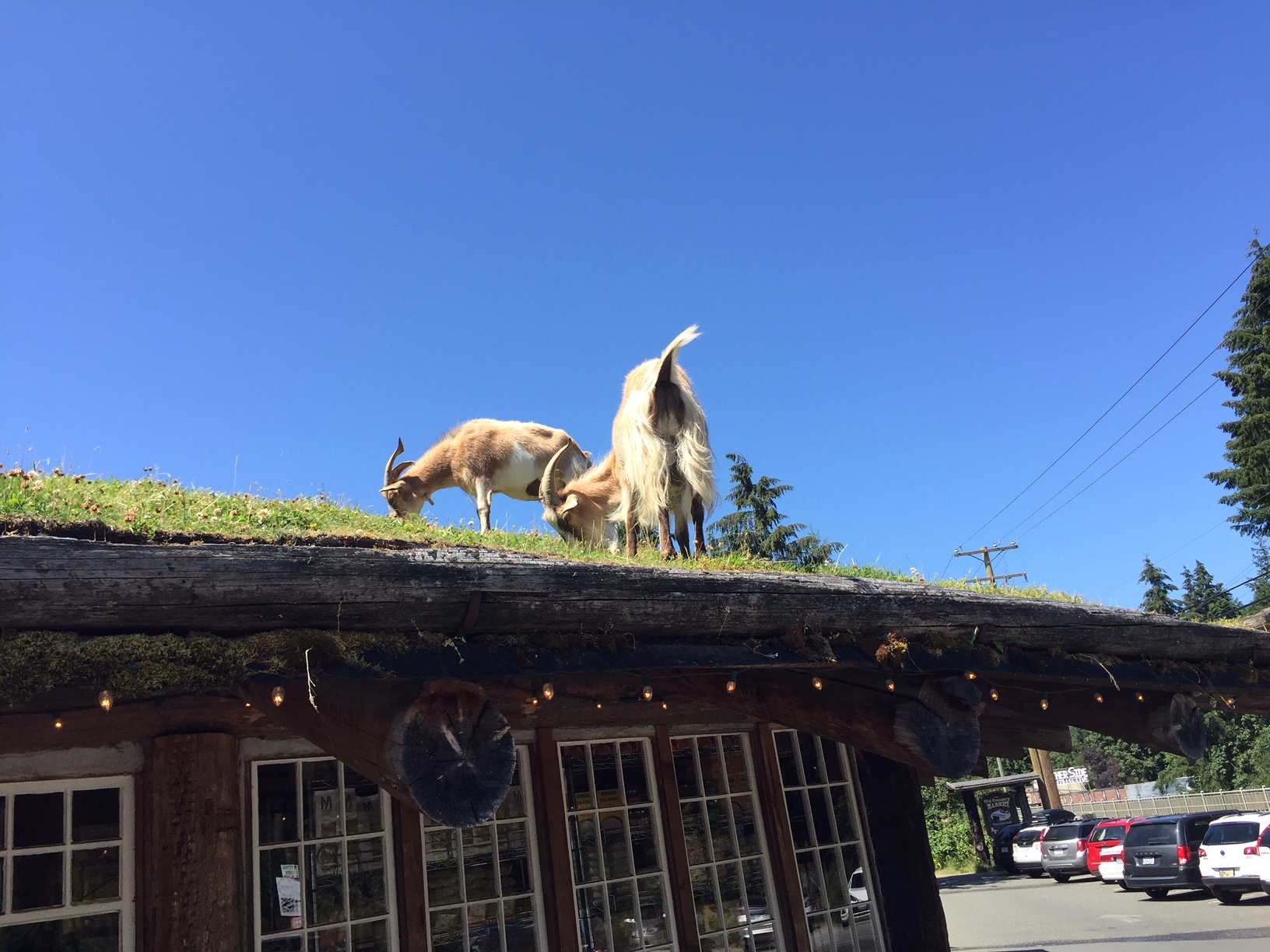 goats grazing on a roof