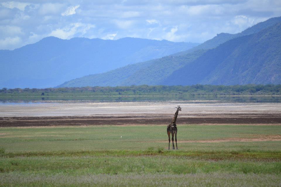 Giraffe at Lake Manyara, Tanzania