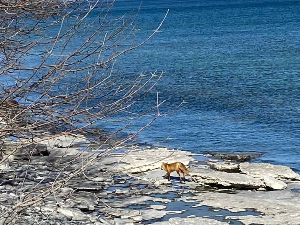 Fox walking on the beach