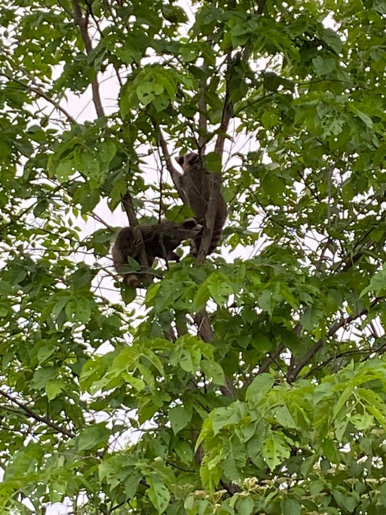 Baby raccoons in the trees
