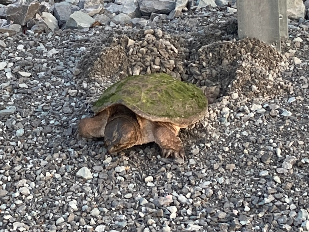 Snapping turtle laying her eggs
